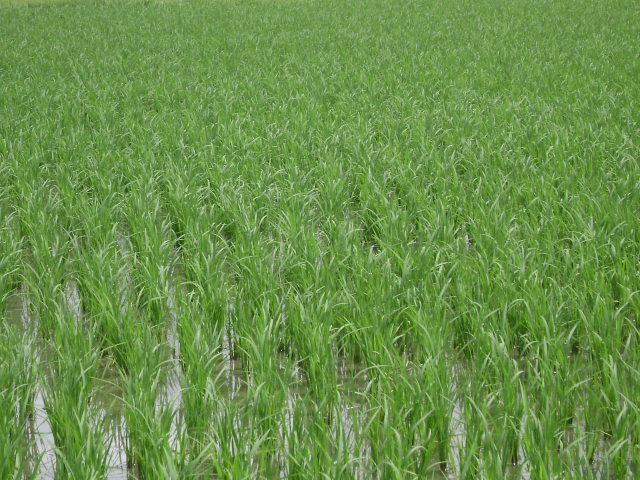 7.5 Tons Hybrid Rice Technology Demonstration (1)