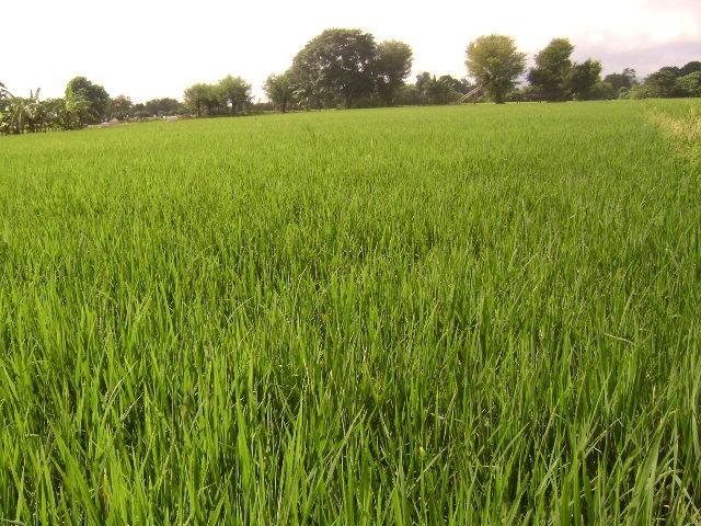 7.5 Tons Hybrid Rice Technology Demonstration (2)