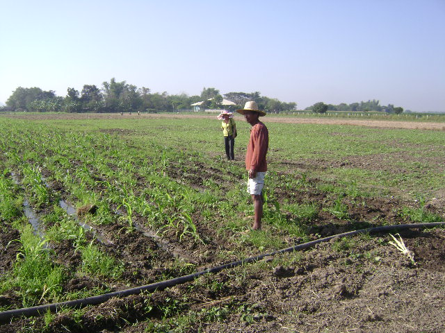 Trial on Alternative Cropping for Tobacco (2)