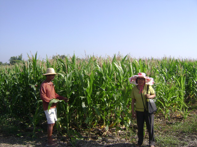 Trial on Alternative Cropping for Tobacco (3)